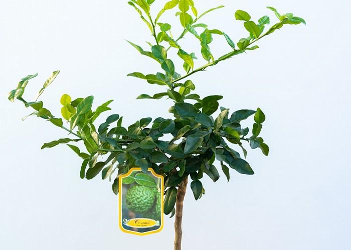 Citrus Histrix
